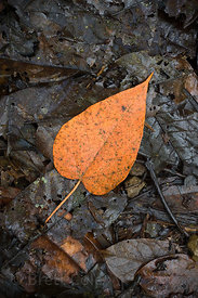 Striking orange leaf laying in muddy leaf litter on a forest trail, Las Nubes, Costa Rica