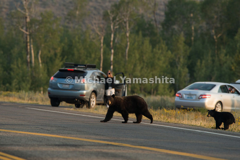 Black bear with cub on Moose Wilson Road. Grand Teton National Park, Wyoming...Jagged peaks of the Teton Range, lush meadows,...