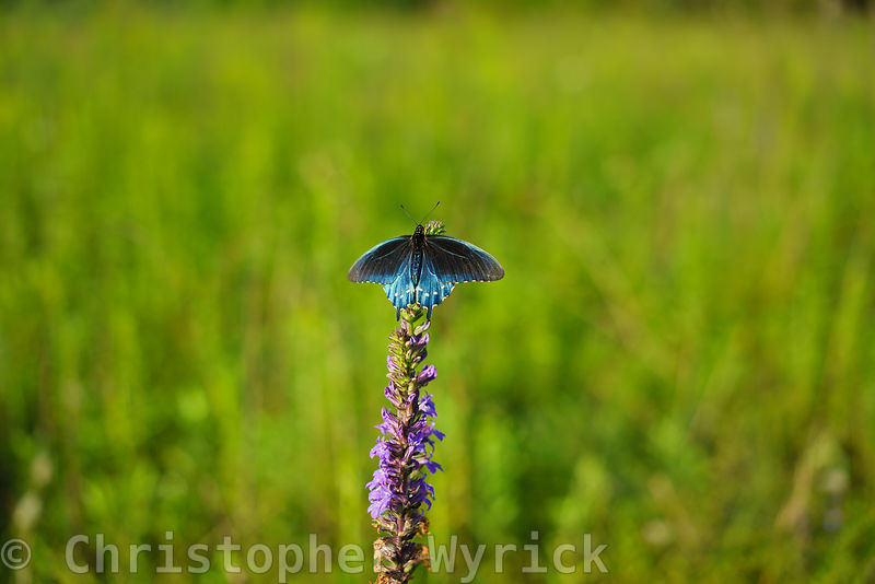 Pipevine swallowtail (Battus philenor) feeding on a flower in Cades Cove on the morning of the 2017 eclipse.