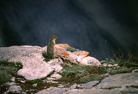 February - Columbian Ground Squirrel