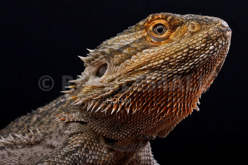 Pogona vitticeps, Bearded dragon, Australia