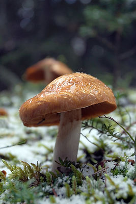 Mushroom in the snow in the mossy forest around Peyto Lake, , Banff, Canadian Rockies