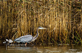 Heron in the Lagoons
