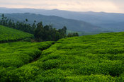 Tea plantations on the edge of Nyungwe Forest National Park, Rwanda