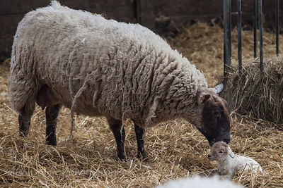 Mother and newborn lamb