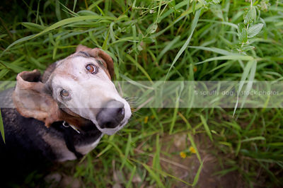 humorous senior dog with flipped ear looking upward from grasses