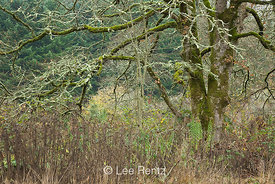 Oregon White Oak (Quercus garryana) covered with lichens and mosses, Ridgefield National Wildlife Refuge, Ridgefield, Washing...