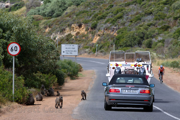 Chacma baboons from the Smitswinkel troop on the M4 near Simon's Town, Cape Peninsula, South Africa. Many baboons are killed ...