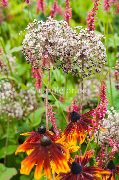 Bronze annual rudbeckias with papery seedheads of Allium hollandicum in the hot border. Helmsley Walled Garden, Helmsley, Yor...