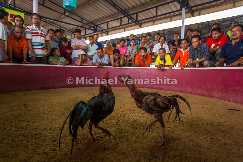 Sunday cockfighting