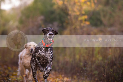 two dogs chasing running with minimal background