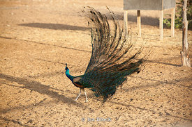 A peacock at the Sir Bani Yas Island wildlife reserve.