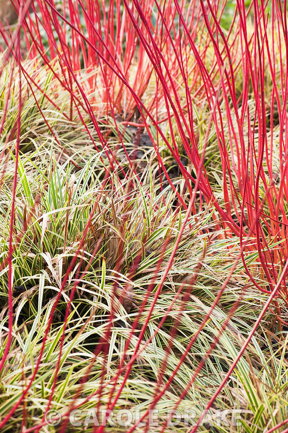 Carex morrowii 'Fisher's Form' below Cornus alba 'Sibirica', AGM. Sir Harold Hillier Gardens, Ampfield, Romsey, Hants, UK