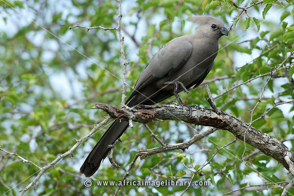 Grey go-away bird (Corythaixoides concolor), MalaMala Game Reserve, Greater Kruger National Park, South Africa