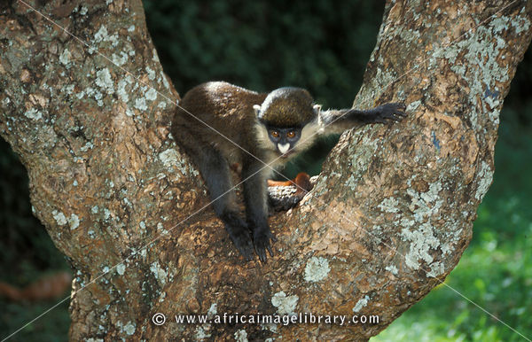 Red-tailed monkey (Cercopithecus ascinius), Uganda