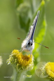 MALE COMMON BLUE BUTTERFLY: