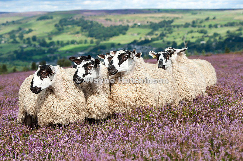 Mule gimmer lambs out of Dalesbred sheep on heather moorland above Pateley Bridge, North Yorkshire, UK.