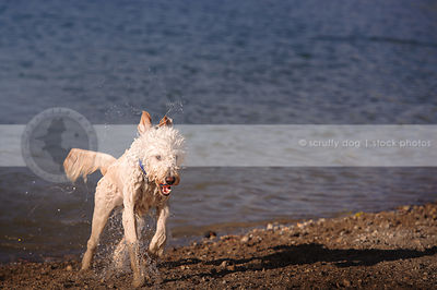 dripping wet doodle dog carrying ball running out of lake water onto shore
