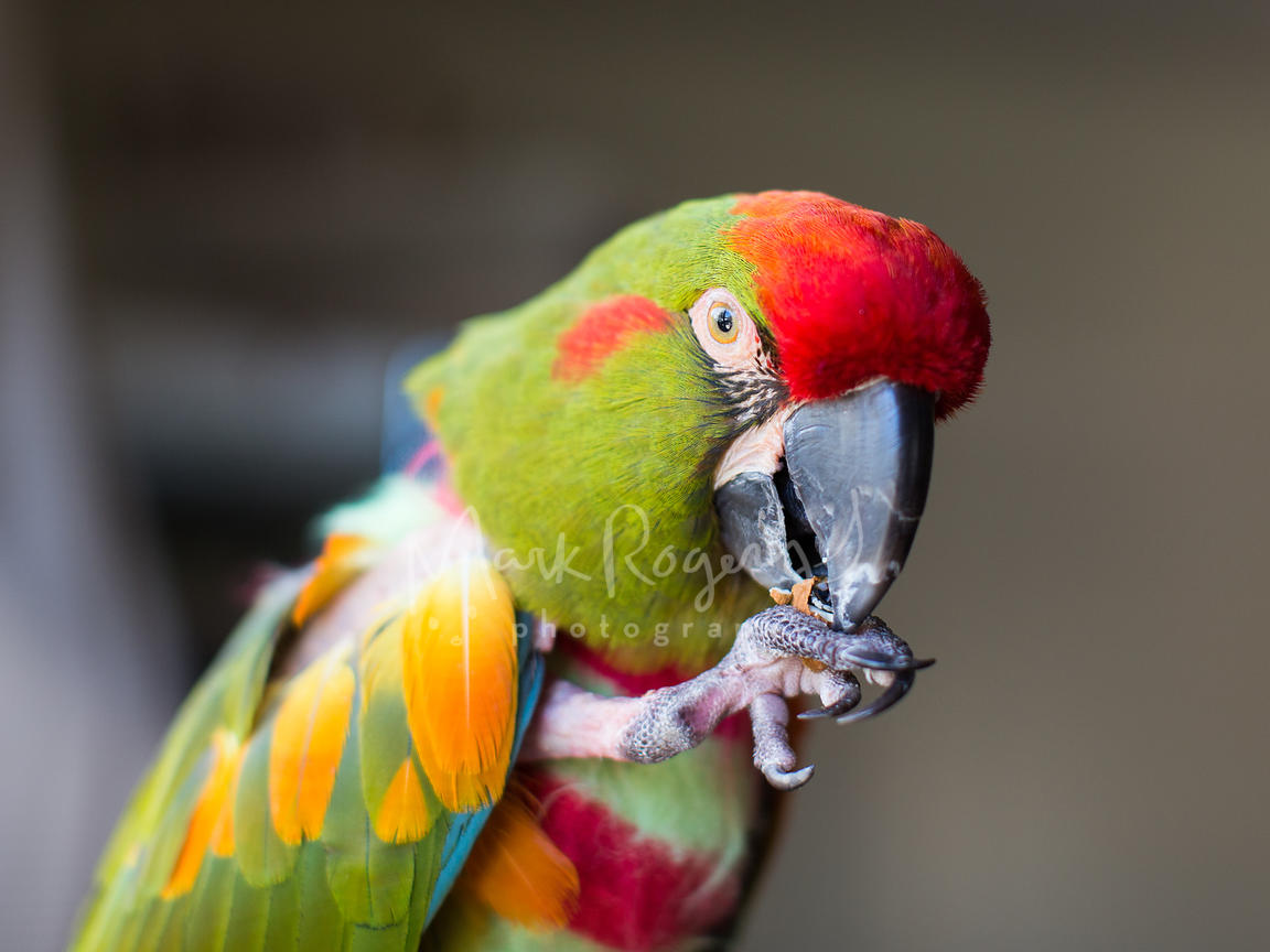 Parrot close-up holding a nut in claw up to its beak