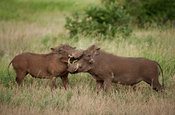 Warthogs fighting (Phacochoerus africanus), Kruger National Park, South Africa