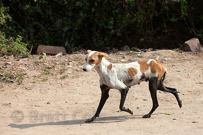 A dog with muddy legs trots along the road in Bharatpur, Rajasthan, India