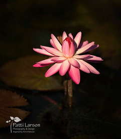 Night-Blooming Water Lily