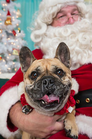 Smiling French Bulldog in Santas Lap for Holiday Photo