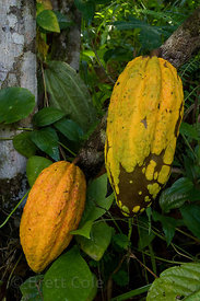 Cacao (the source of chocolate) growing near San Isidro del General, Costa Rica. This photo shows a fruit on the tree.