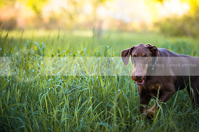 red and tan doberman dog fetching ball in natural grasses