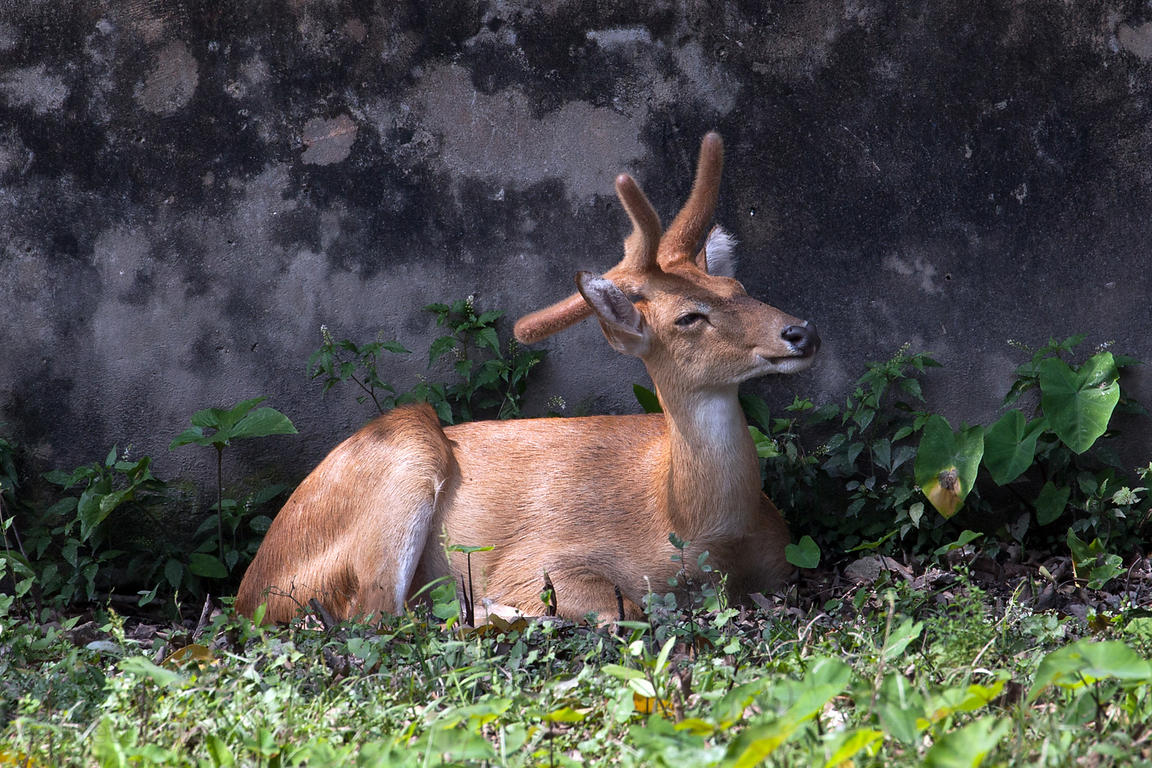 Deer (sp.) at the Kolkata Zoo, New Alipore, Kolkata.