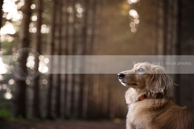 portrait of handsome little dachshund dog in forest with bokeh background