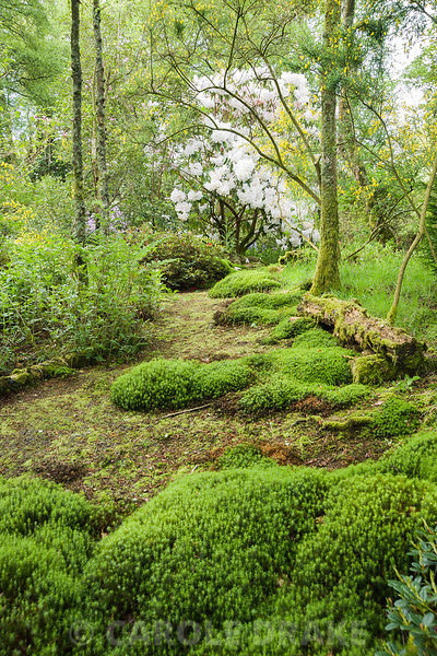 Luscious mounds of moss are encouraged in the woodland garden. Windy Hall, Windermere, Cumbria, UK