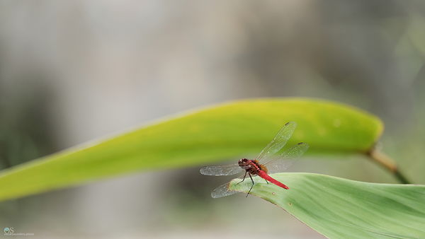 Red Dragonfly Desktop