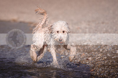wet shaggy cross breed dog playing with ball running in lake water