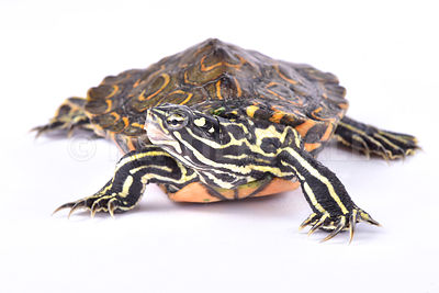 Ringed sawback turtle (Graptemys oculifera)