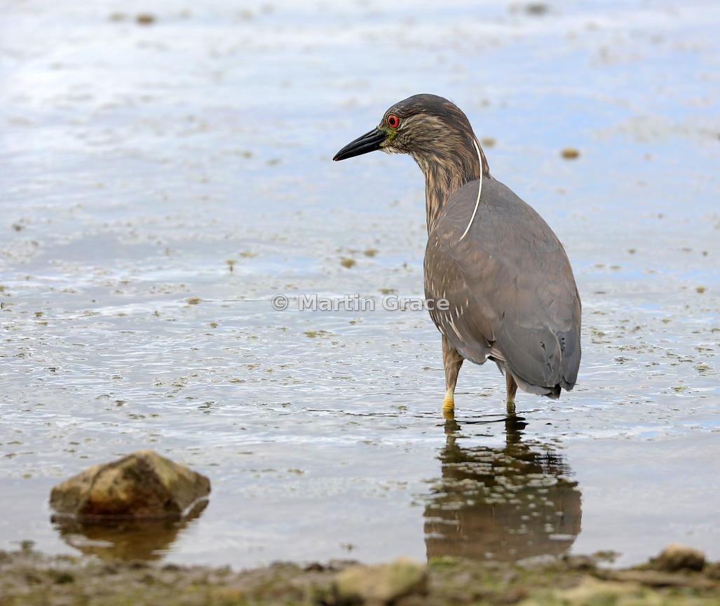 Black-Crowned Night Heron (Black-Capped Night Heron) (Nycticorax nycticorax), Ushuaia, Argentina