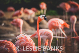 Flamingos Drinking in a Pond