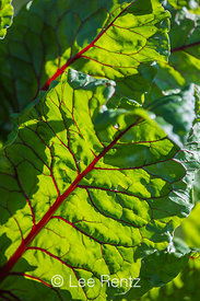 Swiss Chard at the Unpaved Paradise P-Patch in Seattle