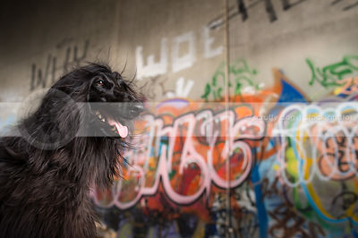 portrait of windblown longhaired dog at urban graffiti wall