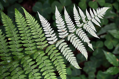 Lady fern (Athyrium filix-femina), Jedidiah Smith Redwoods, State Park, California