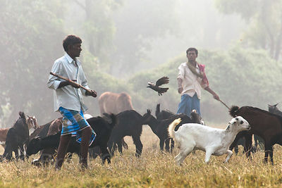 A man shoes away birds as he herds goats on the maidan (central park) in Kolkata, India. Maidan is a large open public space ...