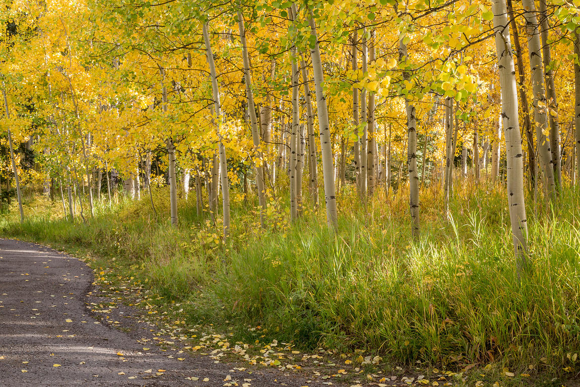 Aspen Forest and Road