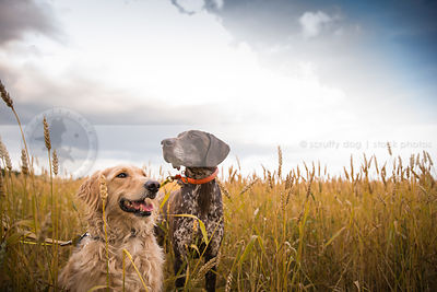 blond cross breed dog and brown speckled dog in wheat under sky