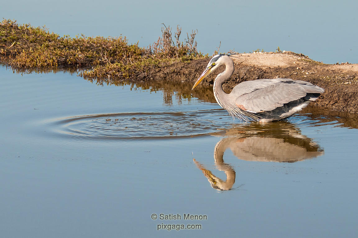 Great Blue Heron, Don Edwards SF Bay Wildlife Refuge, Alviso, CA, USA