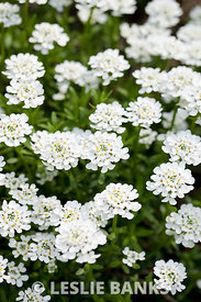 White Candytuft Flowers