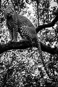 06446-Leopard_in_the_forest_2_Kenya_2018_Laurent_Baheux