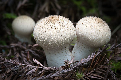 Devil's Snuffbox (Lycoperdon perlatum), Jedidiah Smith Redwoods, State Park, California