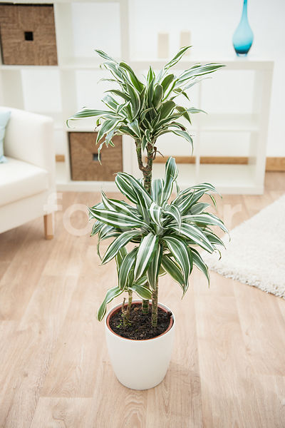 Dracaena fragrans 'White Jewel', dracaena, bicolore