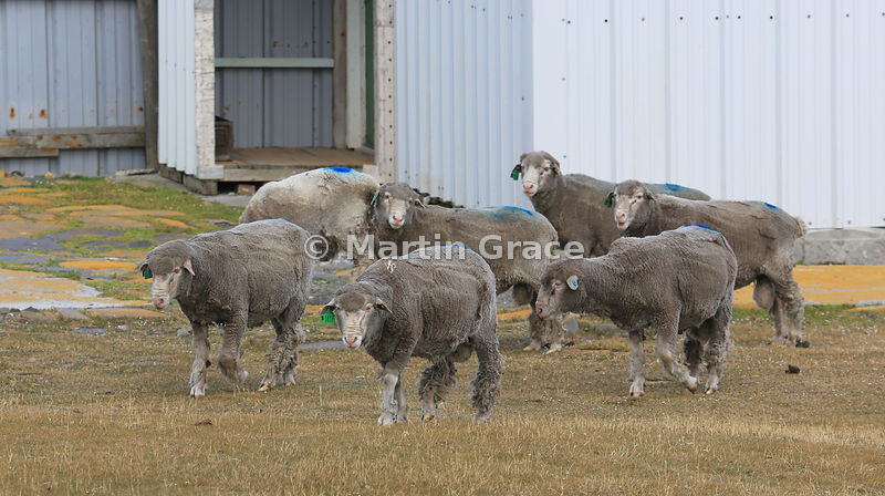 Freshly-shorn male Falkland Sheep (rams), Bleaker Island, Falkland Islands