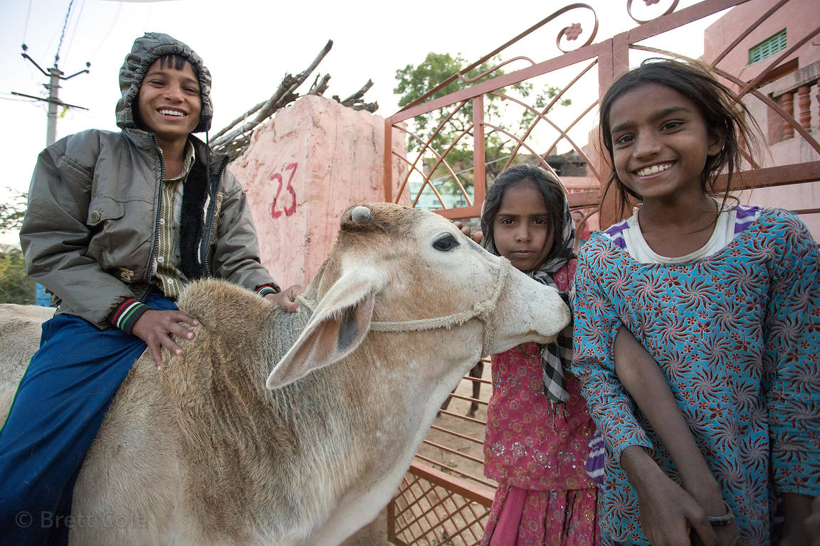 A boy rides a cow in Kharekhari village, Pushkar, Rajasthan, India